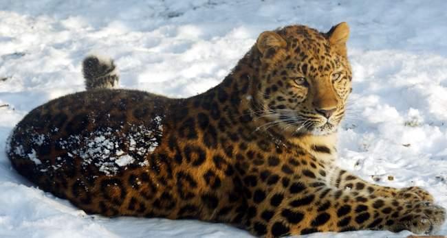 Amur-Leopard-Wallpaper-HD.jpg