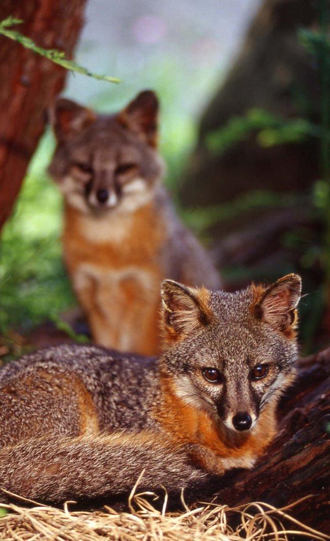 island fox.jpg