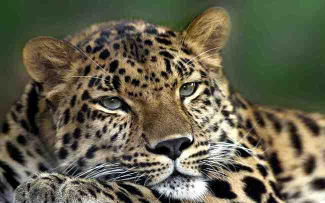 amur-leopard-hd.jpg