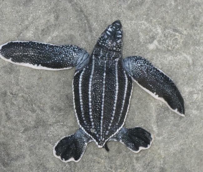 baby leatherback turtle Gale Bishop.jpg