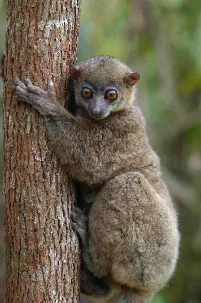 nothern sportive lemur.jpg