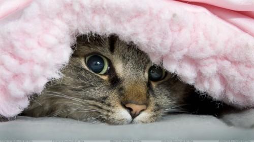 A-Cat-Under-The-Blanket-Looking-Cute-500x281.jpg