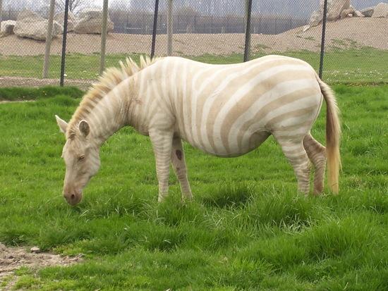 Albino_Zebra.JPG