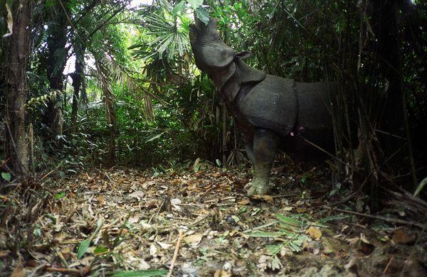 javan-rhino-camera-trap-clearing_32632_600x450.jpg