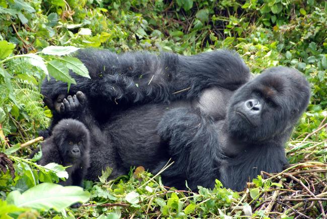 kurira_gorilla_and_baby.jpg