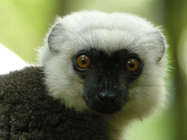 White-headed_Lemur,_Masoala_National_Park,_Madagascar_2.jpg
