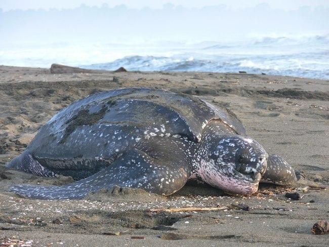 Leatherback-Turtle-Photo.JPG
