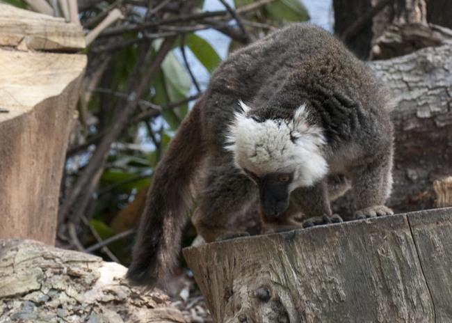 white_headed_lemur.jpg