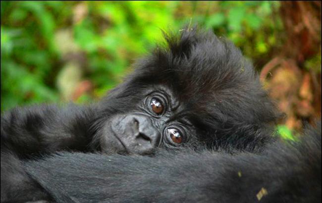 mountain gorilla baby.jpg