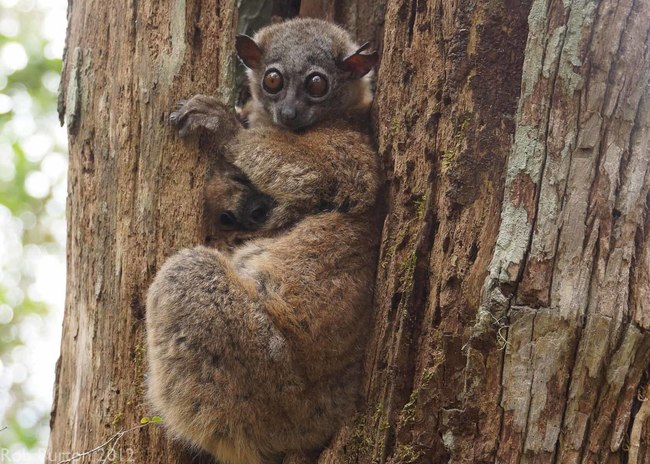 nothern sportive lemur 2 .jpg