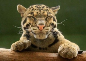 Happy-tiger-cub-300x213.jpg